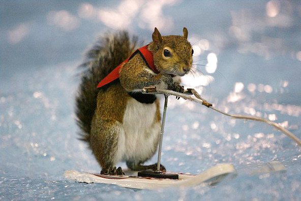 Twiggy, the water-skiing squirrel
